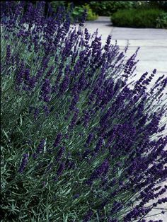 """Hidcote Lavender will attract butterflies and is a very popular cultivar for hedging. It has a compact and erect habit with gray lanceolate leaves. Its deep violet flowers are strongly scented and bloom in dense spikes July- August. Keep plants compact by pruning. Grows in full sun to 12-18"""" tall. Zone: 5 to 8"""