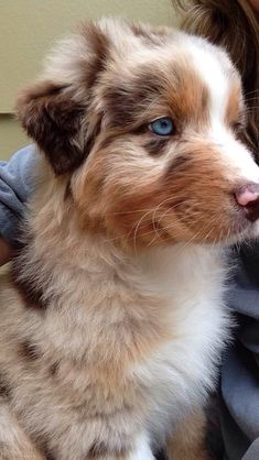 Foster the Red Merle Australian Shepherd