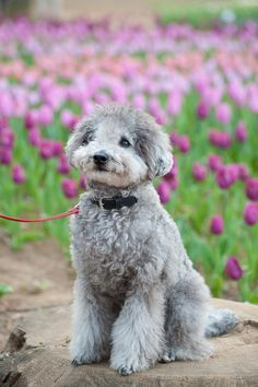 by the #tulip field #toypoodle #silverpoodle