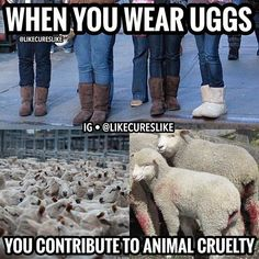 Tag your uggs wearing friends. Make sure the fake ones doesn't use animal products either, animal products in clothes are coming from animals suffering the worst type of animal cruelty ••••••••••••••••••••••••••••••••••••••••••••••• The majority of sheep bred and killed for their wool, skin or meat are also victims of a practice called mulesing, where large chunks of the skin on their backside are cut off without painkillers to prevent an infection by blowflies called flystrike. Yet the only…
