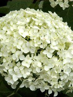 die besten 25 annabelle hortensie ideen auf pinterest hortensien garten incrediball. Black Bedroom Furniture Sets. Home Design Ideas
