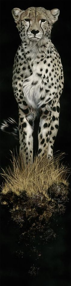 Stunning Cheetah - Night Stalker SOLD - Sally Maxwell, master scratchboard artist on imgfave