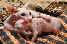 Awww, momma sphynx and baby