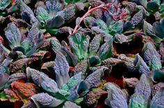 ECHEVERIA  | OC Succulents :: Carunculations (Echeveria Etna)