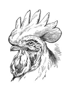 rooster and chickens painting books | Antique Images: Bird Clip Art: Black and White Illustration of Rooster