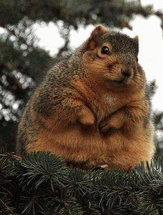 Fat animals are undeniably adorable, and there are a few things cuter than an overweight squirrel. Packing nuts for the winter, these obese rodents struggle to Fat Animals, Fluffy Animals, Animals And Pets, Wild Animals, Hamsters, Rodents, Squirrel Pictures, Animal Pictures, Funny Pictures
