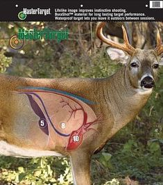 Here's a shot placement chart for deer. Source: Master-Target