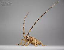 White-spotted longicorn beetle (Anoplophora malasiaca)