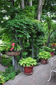 Hostas in pots  Three Dogs in a Garden