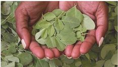THE MORINGA: THE PLANT OF ETERNAL YOUTH THANKS TO ITS BENEFITS. SO YOU MUST CONSUME IT - https://healthiestfoodchoice.com/the-moringa-the-plant-of-eternal-youth-thanks-to-its-benefits-so-you-must-consume-it/