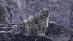 gifdrome:  Snow Leopard