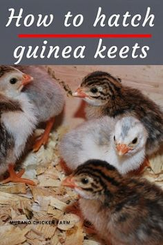 How to hatch guinea keets. Learn how to incubate guinea fowl eggs and hatch keets with this step by step guide to incubation. Instructions for all types of incubators. Raising Quail, Raising Ducks, Raising Chickens, Backyard Chicken Coops, Chickens Backyard, Hatching Duck Eggs, Incubating Chicken Eggs, Egg Candling, Egg Incubator