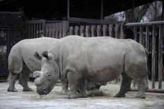Murió la rinoceronte blanca Nabire, solo quedan 4 en el mundo
