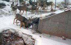Mule Deer Foundation Wildlife Crossing Research