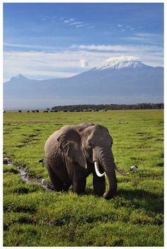 Mt. Kilimanjaro - Tanzania ~ The number of elephants in two wildlife sanctuaries in Tanzania fell by nearly 42 percent in just three years as poachers increasingly kill the animals for their tusks. The census at the Selous Game Reserve and Mikumi National Park revealed elephant numbers had plunged to 43,552 in 2009 from 74,900 in 2006.