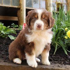 #AustralianShepherd #Charming #PinterestPuppies #PuppiesOfPinterest #Puppy #Puppies #Pups #Pup #Funloving #Sweet #PuppyLove #Cute #Cuddly #Adorable #ForTheLoveOfADog #MansBestFriend #Animals #Dog #Pet #Pets #ChildrenFriendly #PuppyandChildren #ChildandPuppy #LancasterPuppies www.LancasterPuppies.com Little Puppies, Puppies For Sale, Australian Shepherd Puppies, Lancaster Puppies, Animals Dog, Mans Best Friend, Say Hello, Puppy Love, Pets