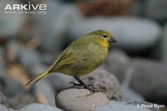 Inaccessible Island finch or Tristan Bunting (Nesospiza acunhae) lowland male...  Nesospiza is a genus of seed-eating tanagers found on the Tristan da Cunha archipelago in the South Atlantic Ocean.