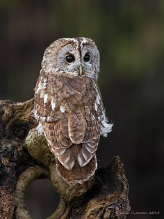 Tawny Owl (Strix aluco) a medium size Owl found in woodlands of Europe Beautiful Owl, Animals Beautiful, Beautiful Creatures, Owl Photos, Owl Pictures, Owl Bird, Pet Birds, Strix Aluco, Nocturnal Birds