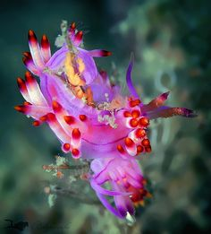 ˚Nudibranch Laying Eggs