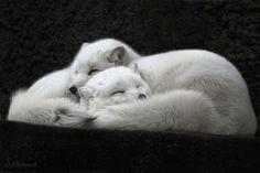magicalnaturetour: Sweet Sleep by Allchonok :) Beautiful Creatures, Animals Beautiful, Cute Animals, Very Sleepy, Arctic Fox, Kittens, Cats, Albino, Animals Of The World