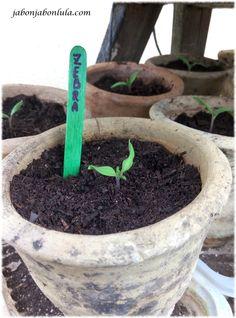 Tomate green zebra en el vivero de mi jardín comestible.
