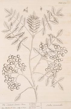 The common service tree. [Sorbus torminalis.] (1739)