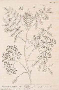 The common service tree. [Sorbus torminalis.] (1739)