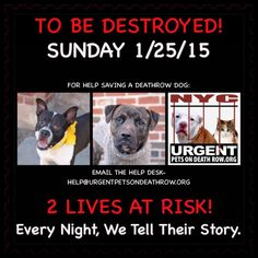 TO BE DESTROYED: 2 beautiful dogs to be euthanized by NYC ACC- SUN. 01/25/15. This is a VERY HIGH KILL shelter group. YOU may be the only hope for these pups! ****PLEASE SHARE EVERYWHERE!!To rescue a Death Row Dog, Please read this:  http://urgentpetsondeathrow.org/must-read/    To view the full album, please click here:    https://www.facebook.com/media/set/?set=a.611290788883804.1073741851.152876678058553&type=3