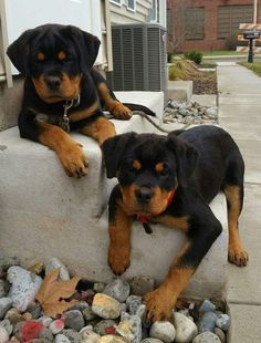 Rottweiler puppies sure are cute! These loving and loyal goofballs can make great pets. Thinking about bringing a Rottweiler puppy into your home? Here are a few things to know about these pups before you adopt. Cute Dogs And Puppies, Pet Dogs, Doggies, Chihuahua Dogs, Beautiful Dogs, Animals Beautiful, Rottweiler Puppies, German Rottweiler, Best Dog Breeds