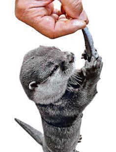 Nemo weiß, was sich gehört. Schließlich ist er Botschafter des Otterschutzes. Er verteilt seine Zuneigung gleichmäßig auf alle Interessierten. Nicht, dass er mit fremden Leuten anfängt zu schmusen - nein, er lässt sich von seinem Herrchen auf die Schultern von begeisterten Kindern und Erwachsenen setzen, wo er die körperliche Wärme genießt und sogar vor Wohlbehagen die Augen schließt.