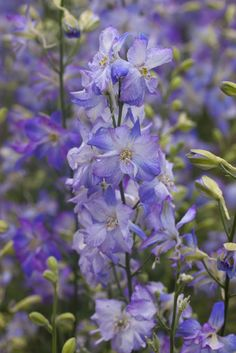 Éénjarige Delphinium (Consolida ajacis 'Frosted Skies')