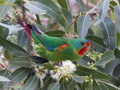 b09 Swift Parrot 2008 [Chain Valley Bay] | Flickr - Photo Sharing! Hope Is The Thing With Feathers, Australian Birds, Bird Pictures, Parakeet, Swift, Parrots, Touch, Sky, Animals