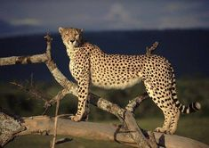 Encyclopaedia of Babies of Beautiful Wild Animals: Cheetahs, dangerous animals with great speed Cheetah Wallpaper, Tier Wallpaper, Animal Wallpaper, Cat Wallpaper, Wallpaper Wallpapers, Cheetahs, Beautiful Cats, Animals Beautiful, Big Cat Species