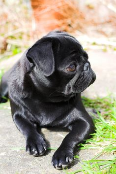 poochie the pug Baby Puppies, Dogs And Puppies, Small Puppies, Bulldog Puppies, Puppy Supplies, Pugs And Kisses, Baby Pugs, Cutest Dog Ever, Cute Pugs