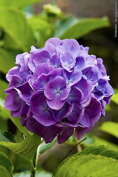 A perfect purple Hydrangea.