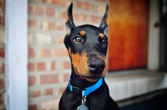 doberman puppy - if I ever get a dog, this is what I will be getting! one of the most intelligent (if not the most intelligent) dogs alive