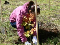 ≪Present Tree in 宮古≫ 第2回植樹イベント_20131013 土の中に空気が入らないようにしっかりと押さえて押さえて…。
