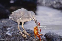 Lava Heron Butorides Sundevalli Preying On Sally Lightfoot Crab Punta Espinosa Fernandina Island Galapagos Stock Photo | Getty Images