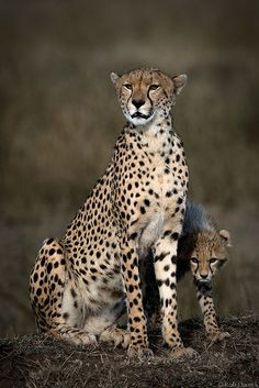 Cheetah Mother and Cub 2 by Rob Dweck on Flickr.