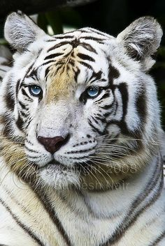 A White tiger -Like Almos and Vitez at Cougar Mountain Zoo! Beautiful Cats, Animals Beautiful, Big Cats, Cats And Kittens, Animals And Pets, Cute Animals, Wild Animals, Baby Animals, Tiger Love