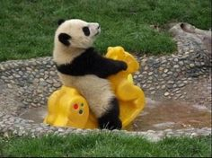 This Panda Is Just Enjoying Li... is listed (or ranked) 2 on the list 37 Wonderful Pictures of Animals in Action