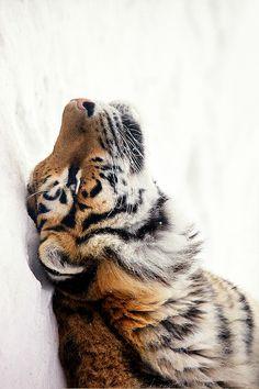 Tiger perfect