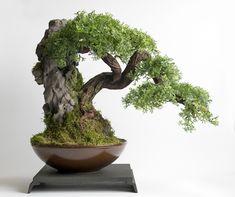 Bonsai on volcanic rock
