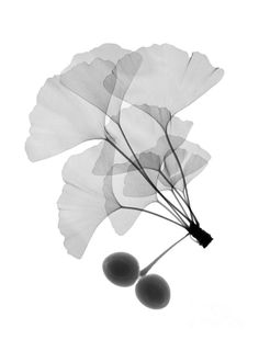 An X-ray Of Ginko Leaves Photograph  - An X-ray Of Ginko Leaves Fine Art Print