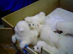 Cute Samoyed Puppies - YouTube