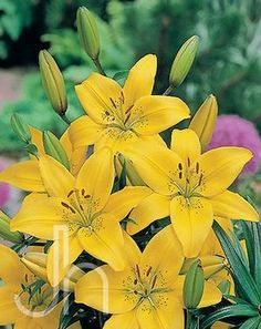 Asiatic Lily 'Gironde' - One of the best yellows, excellent cut flower, produces 5-7 flowers per stem