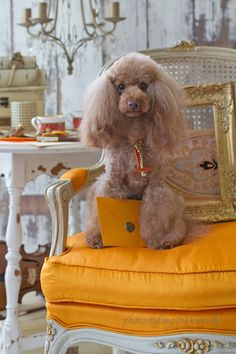 Beautiful Royal Poodle