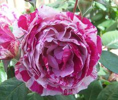 Floribunda Rose 'Scentimental'