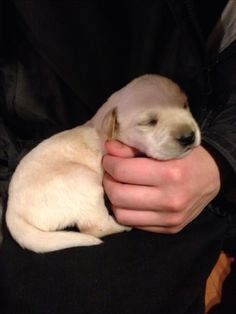 2 week old yellow lab puppy
