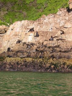 A gathering of Cape Fur seals. Robberg Peninsula, near Plettenberg Bay. South Africa